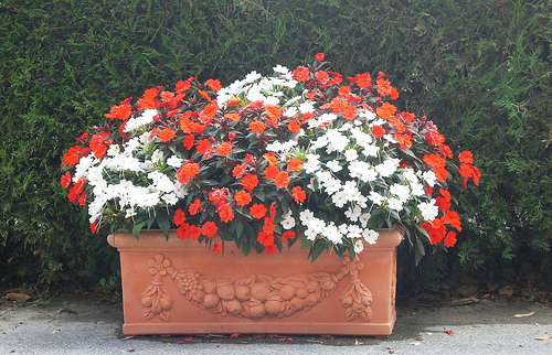 Una flor en mi jard n alegr a de la casa - Planta alegria de la casa ...