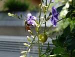 abelha solitária, centris foto do medina