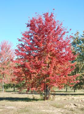 Autumn Blaze Red Maple5