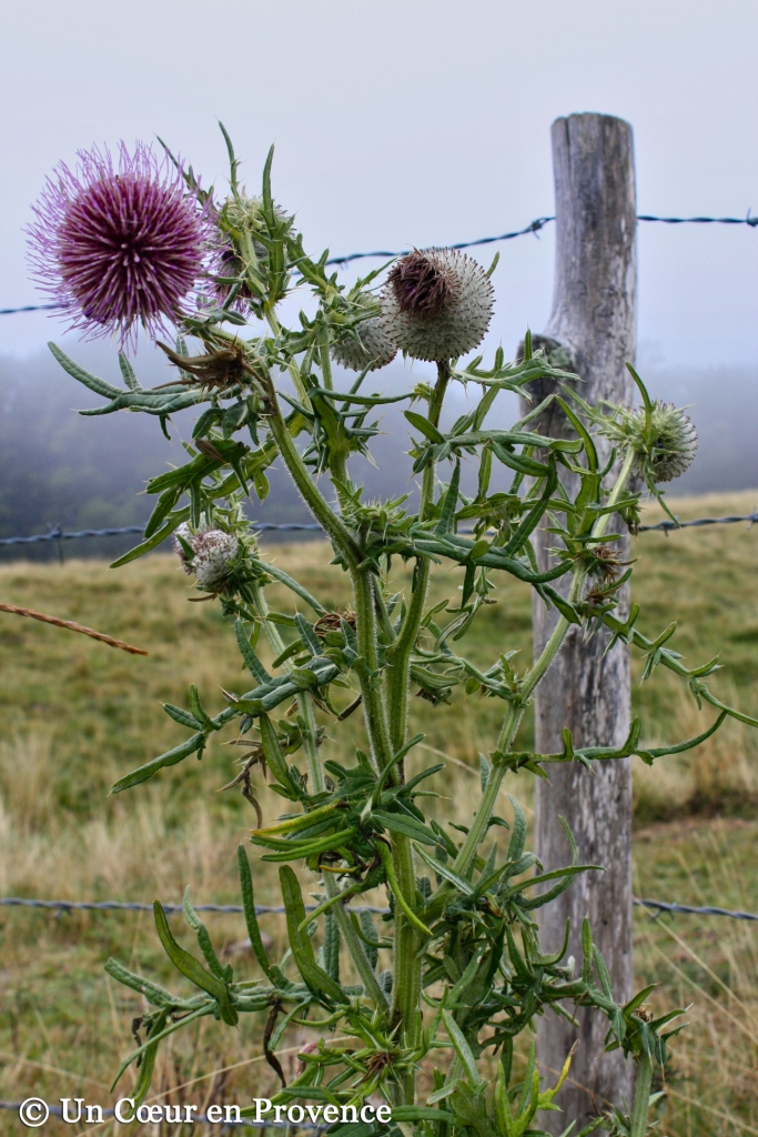Thistle on the plateau de l'Aubrac
