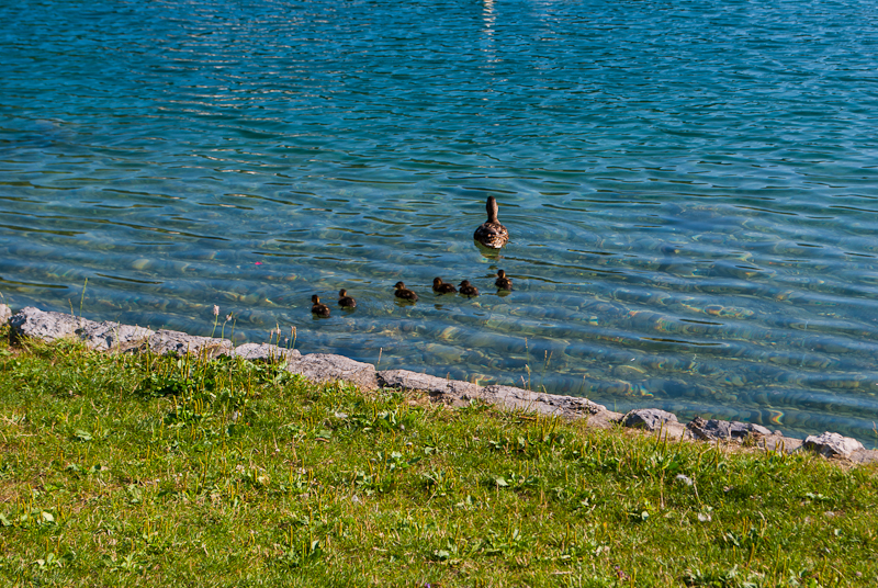 Ducks paddling in lake bled, slovenia