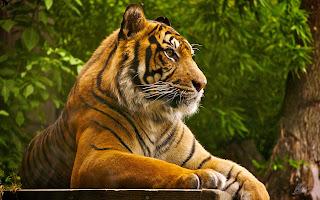 Le tigri vivono nelle nazioni asiatiche