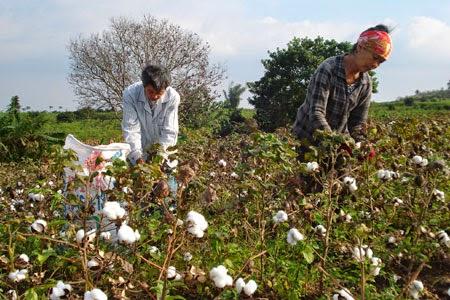 """Gia Lai: Vì sao nông dân """"quay lưng"""" với cây bông vải?"""