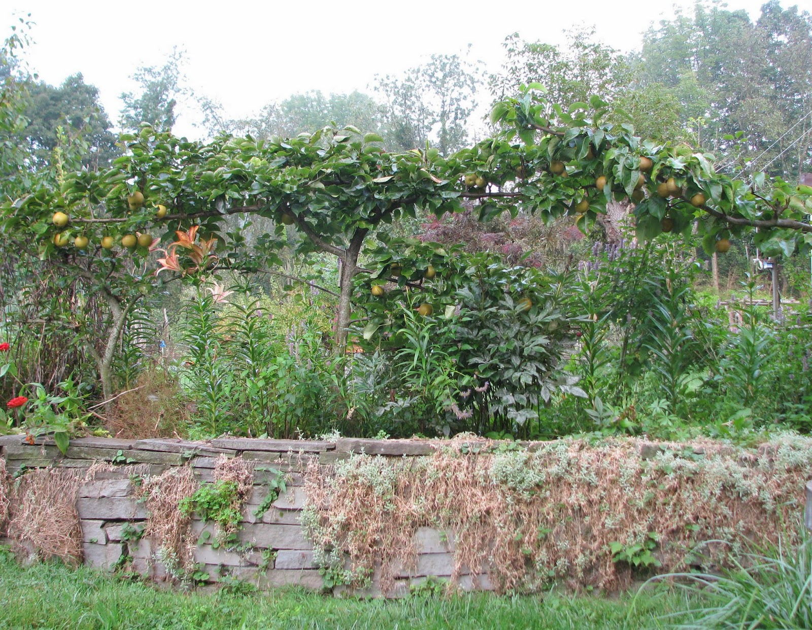 How to Prune Espalier Pear Trees Garden Guides