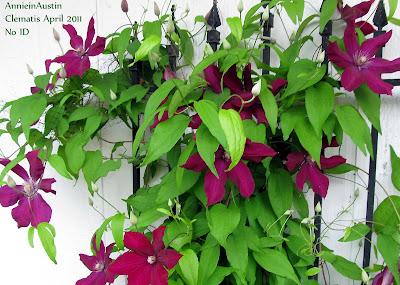 Annieinaustin,reddish purple clematis