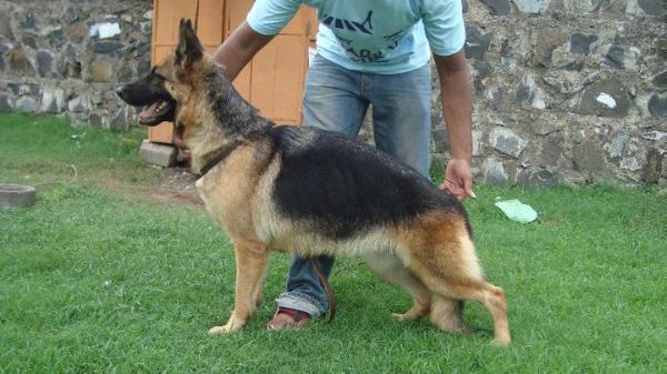 GOULIKAR KENNEL: Double Coated German Shepherd Puppies for sale
