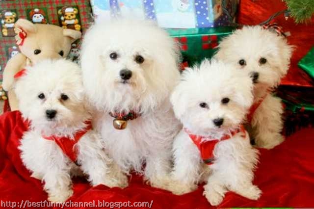 Four funny  Christmas dogs.