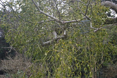 Mistletoe on Apple Tree