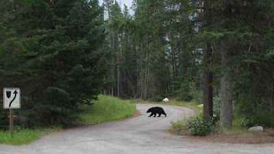 Sortbjørn på rasteplads langs Icefields Parkway i Jasper National Park.