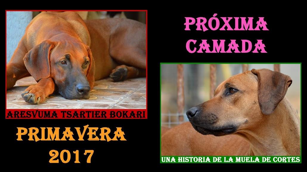 Cachorros Rhodesian Ridgeback primavera 2017
