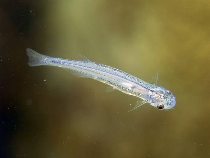 Perhaps the most feared freshwater species of all, candiru are parasitic catfish in the family Trichomycteridae. These small, narrow fish normally feed on the gills of larger fish in the Amazon. However, over the past few centuries there have been reports of these creatures lodging in the urethras of men and women.