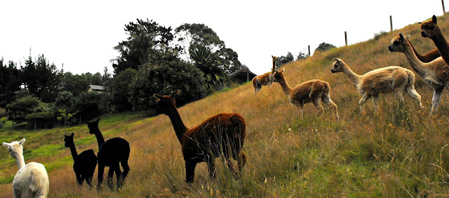 Black, cream, white, fawn and caramel alpacas