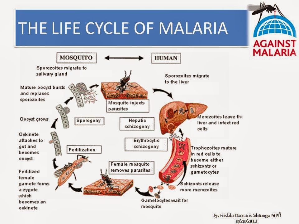 malaria life cycle At the light of the recent advances in the unders tunding of the life-cycle of malaria parasites, the terminology presented below has been widely accepted and will be used in this chapter (bruce.