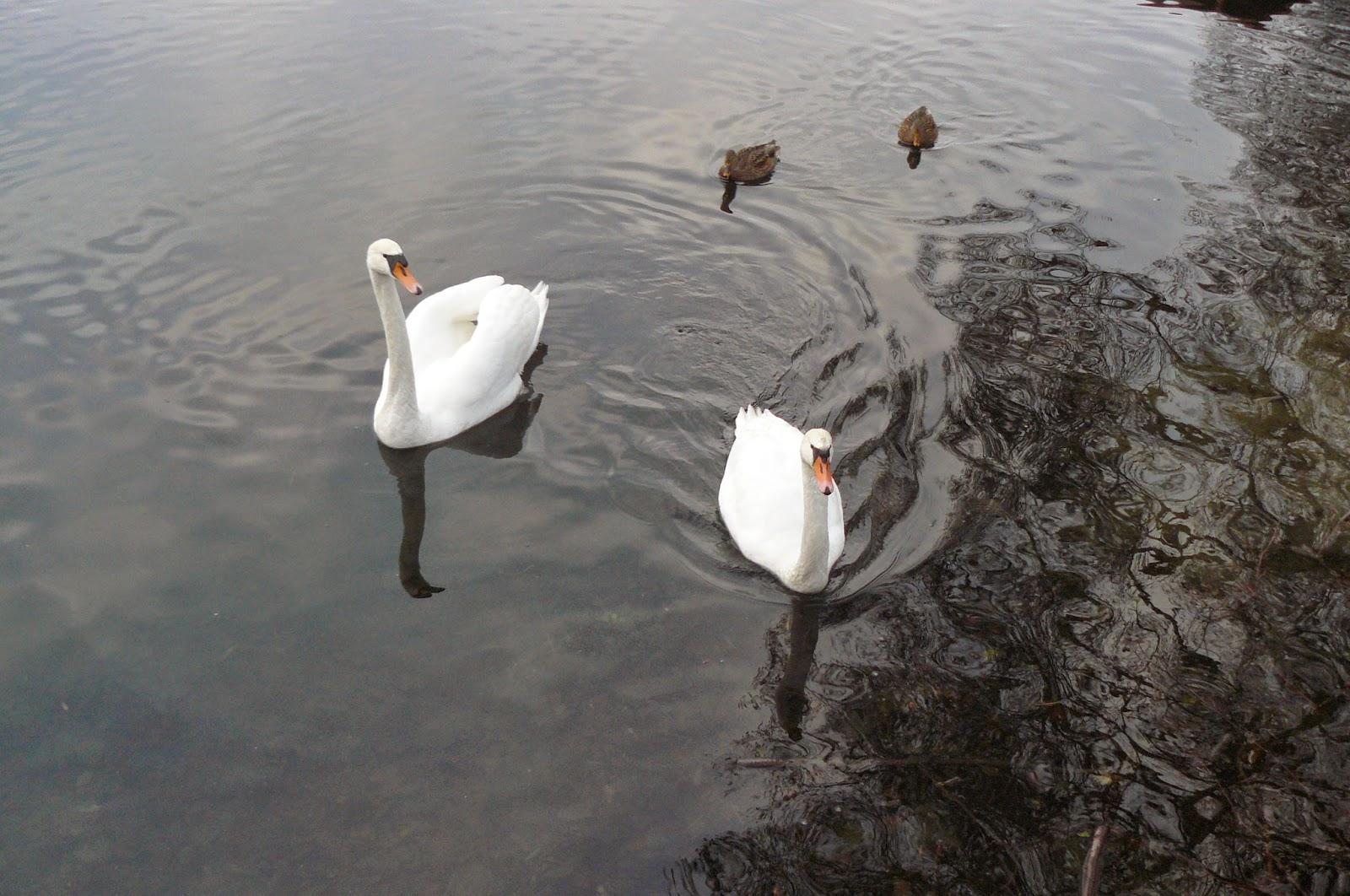łabędzie i kaczki