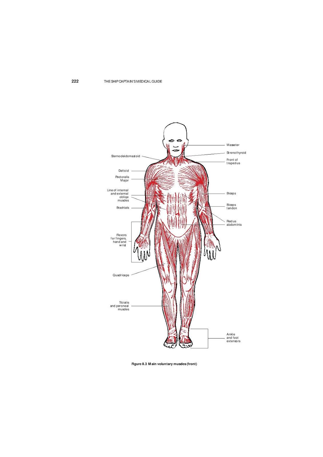 Großzügig Bicipital Nut Anatomie Bilder - Menschliche Anatomie ...