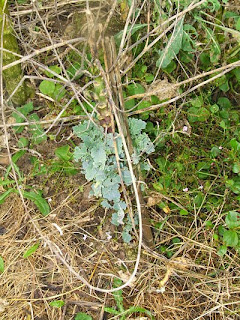 Wild cabbage plant producing new leaves at base