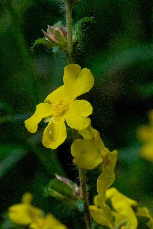 Yellow Buttercup (Hibbertia hypericoides)