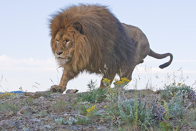 Barbary Lions life and pictures