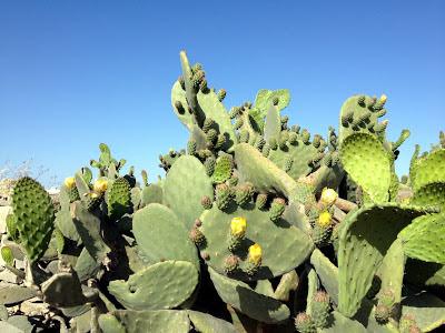malta prickly pears