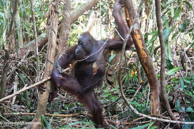 Lagi Orangutan Terjebak Perangkap Warga