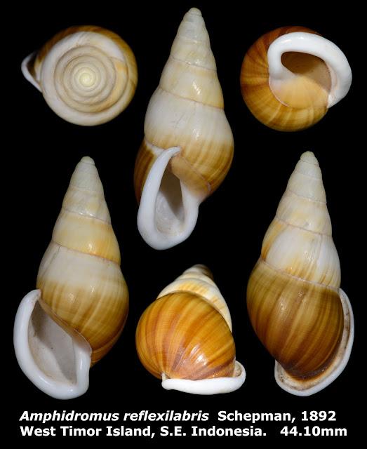 Amphidromus reflexilabris 44.10mm
