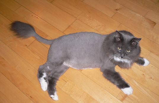 Foto Foto Kucing Yang Dicukur Seperti Singa Kucing Gue