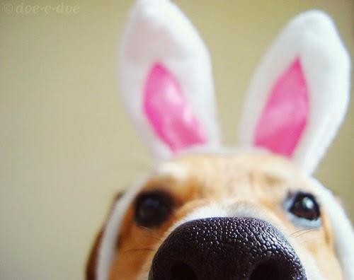 pies z uszami zająca