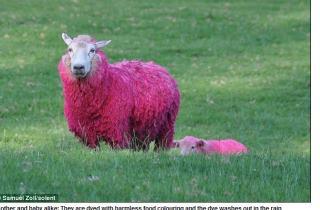 粉紅色綿羊