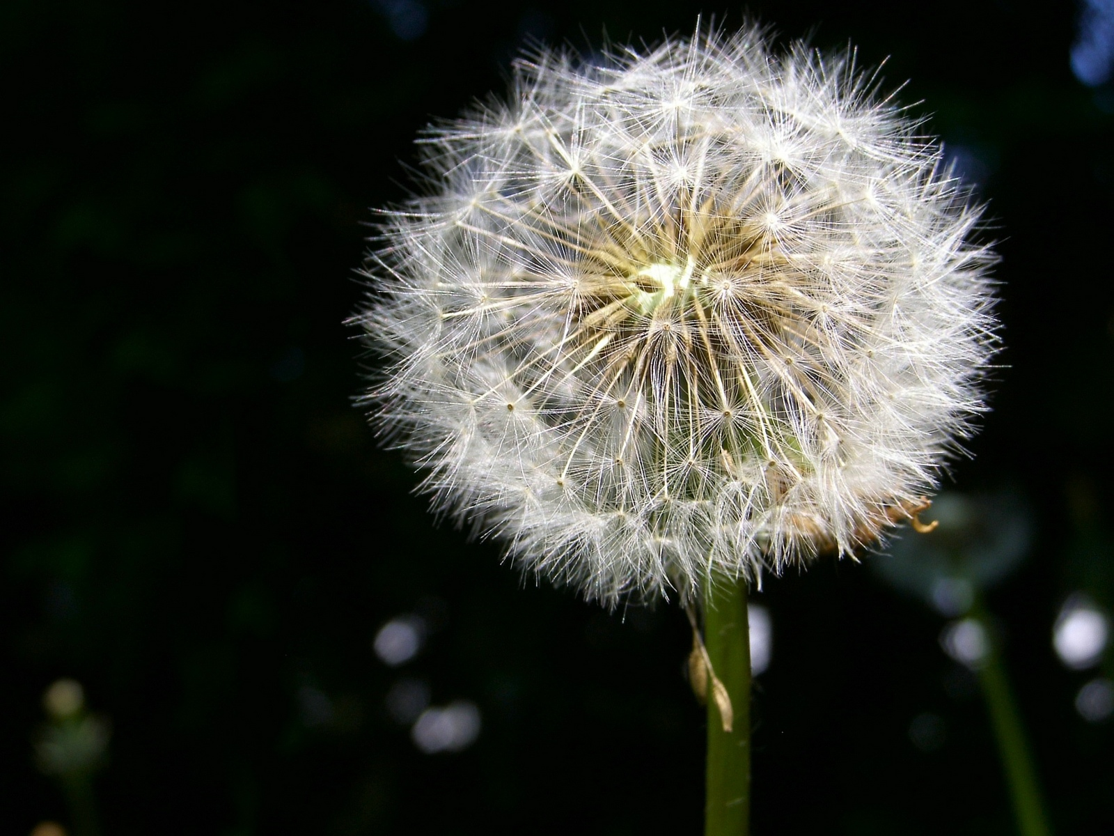 Make A wish Flower Download All Kinds Wallpapers
