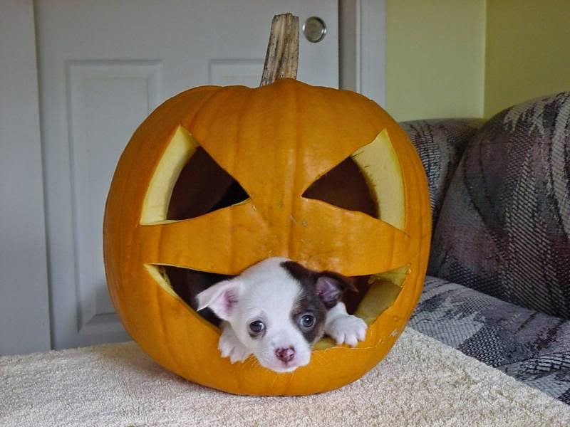 Funny halloween animals 8