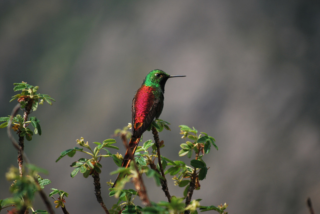 Sappho sparganura: beija-flor da calda vermelha