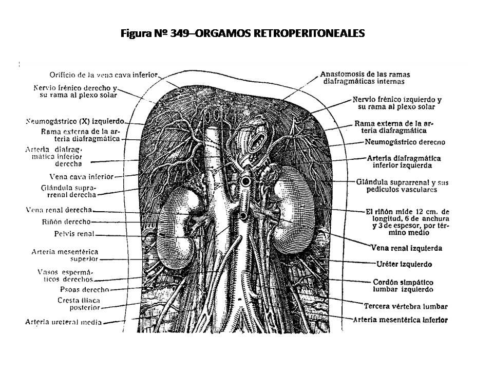 ATLAS DE ANATOMÍA HUMANA: 349. ÓRGANOS RETROPERITONEALES.