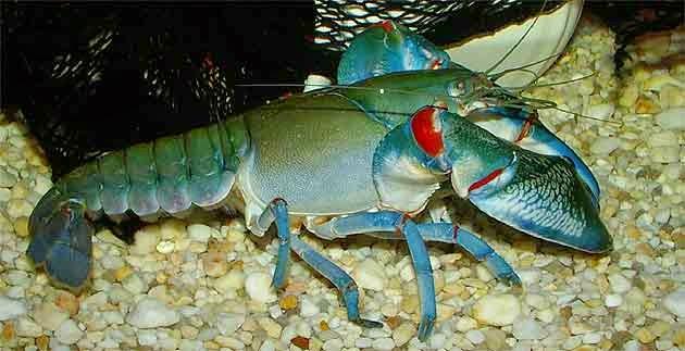 Cherax Queensland Lobster, prospek budidaya lobster, prospek usaha budidaya lobster, peluang usaha budidaya lobster