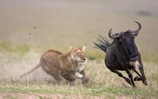 leao  caçando gnu