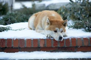 hachiko, the most loyal dog