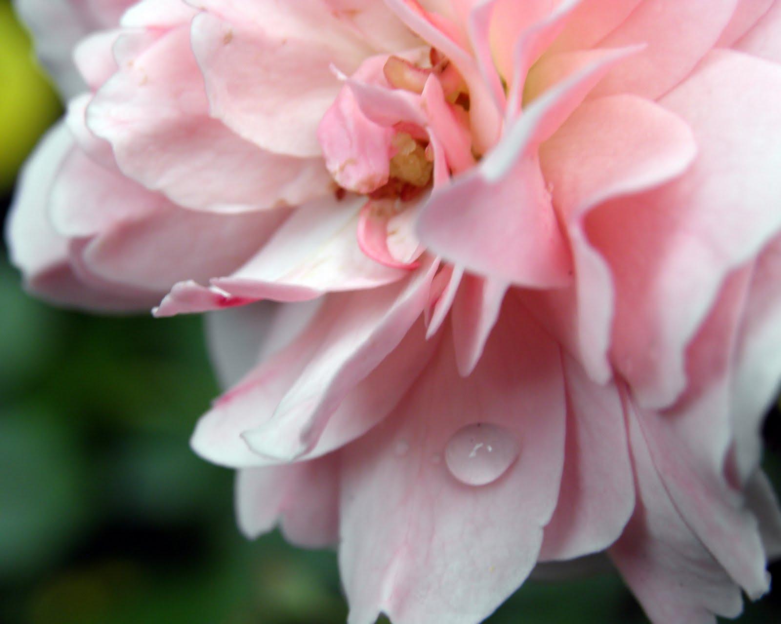 Rose #Rose 2014