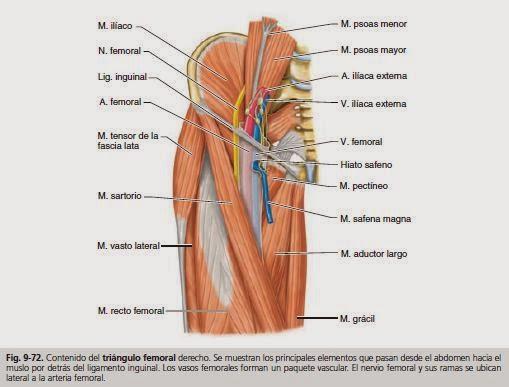 Anatomía para Cosmetología: TRIANGULO FEMORAL