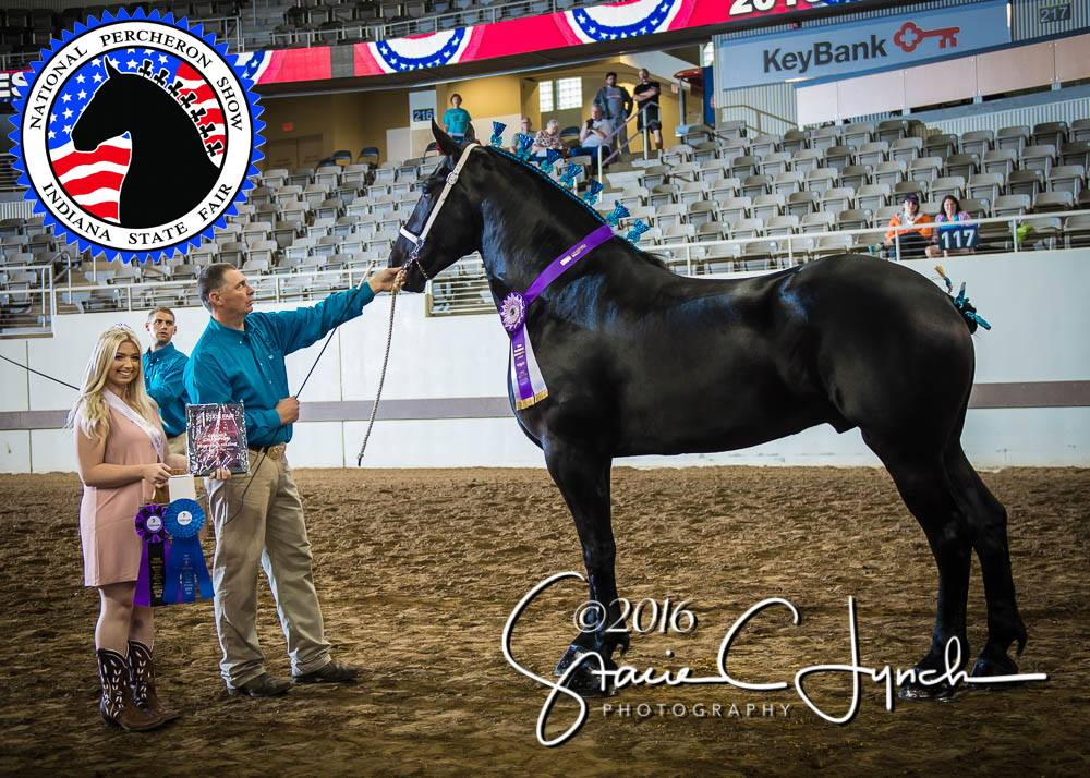 2016 National Percheron Show Grand Champion Percheron Gelding