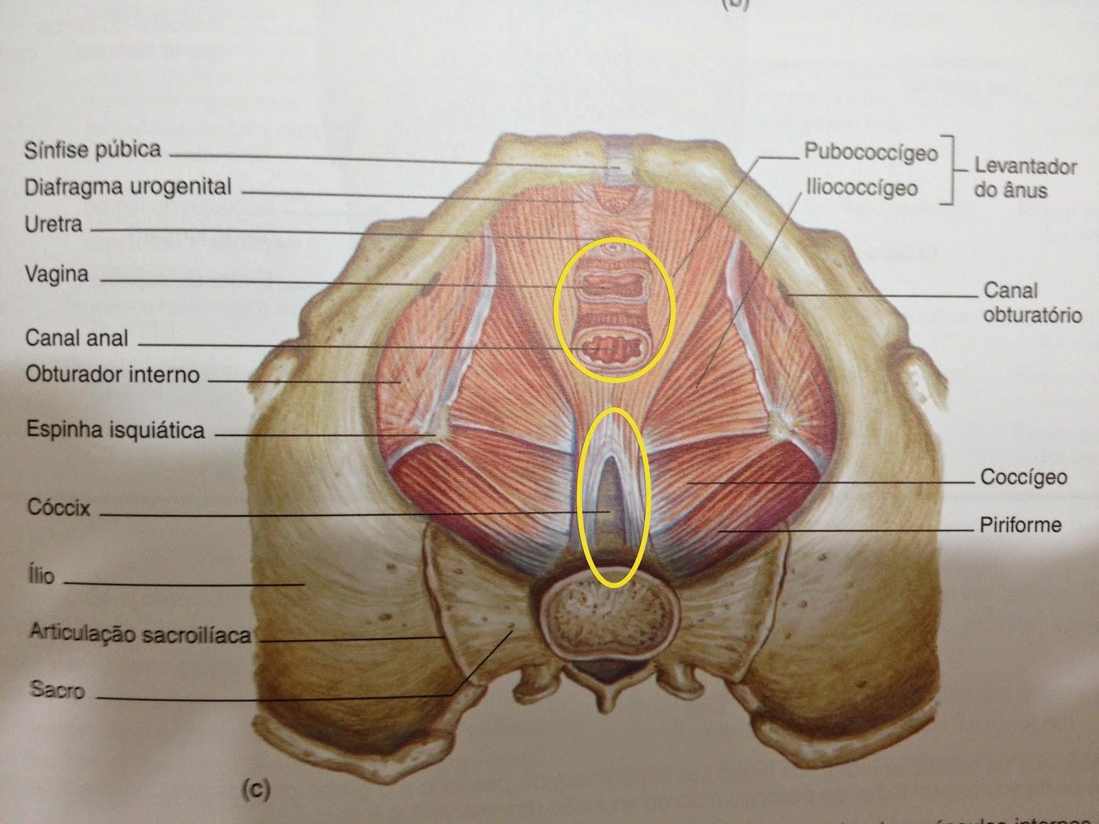 Fantástico Anatomía Del Canal Vaginal Patrón - Imágenes de Anatomía ...