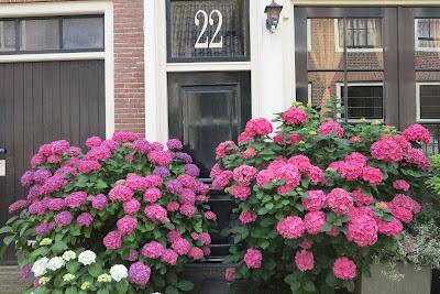 hydrangea, pink, container garden