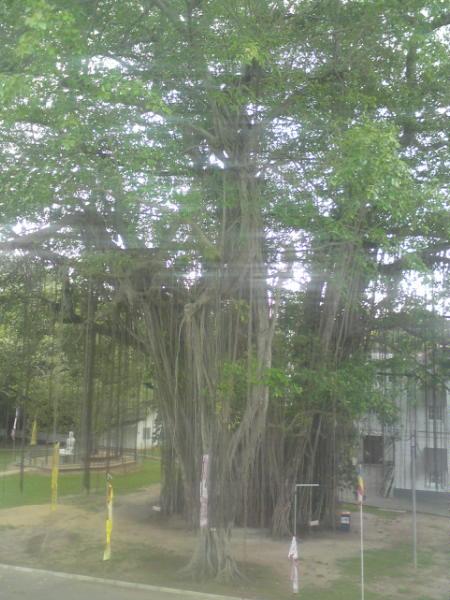 ficus benghalensis nuga tree