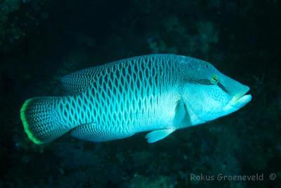 pez Napoleon Cheilinus undulatus