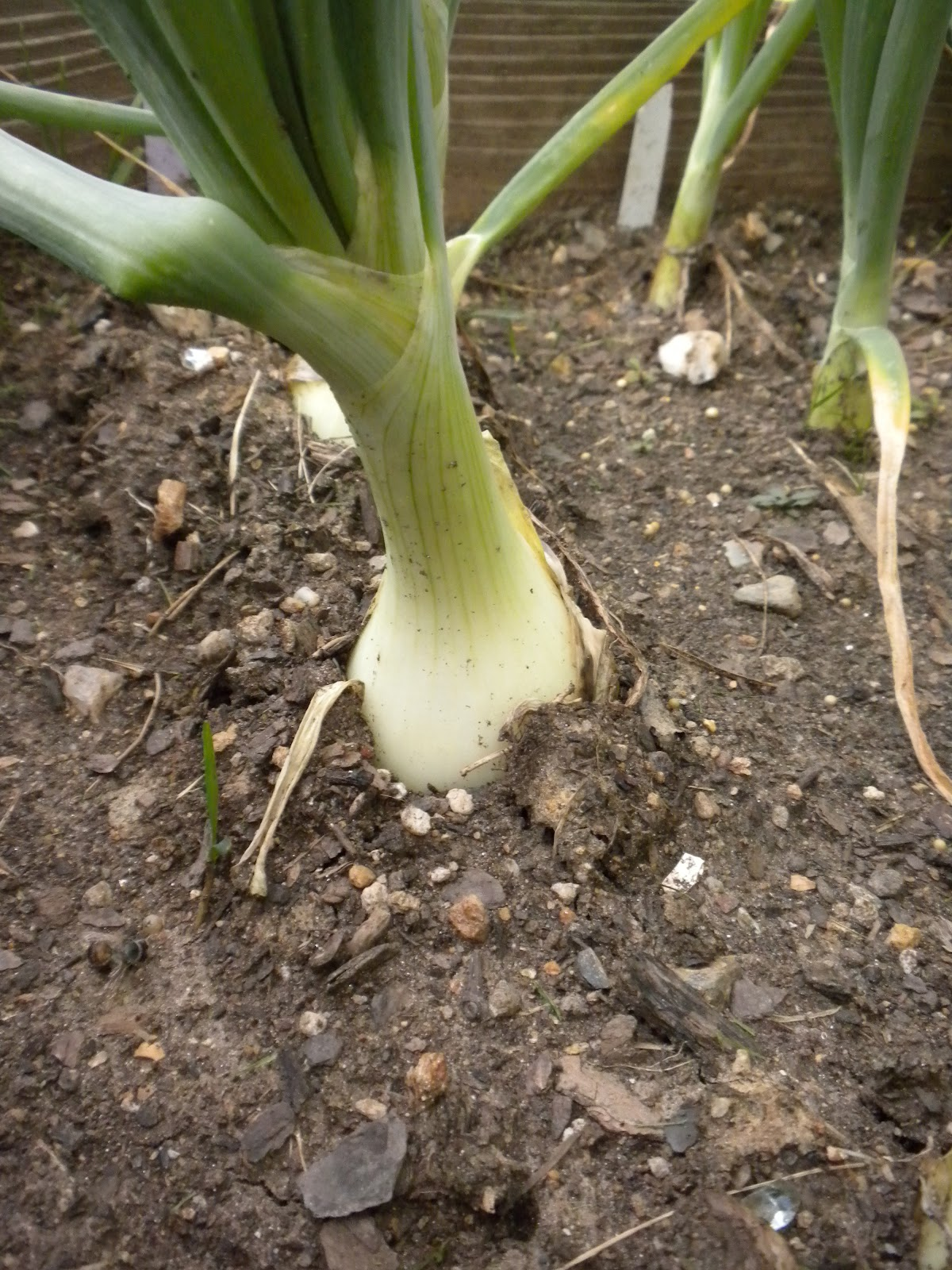 Strange gardener day length and onion bulbs - Unknown uses for an onion ...
