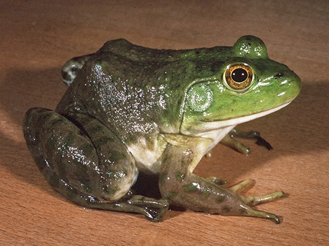 Woman Gives Birth To Bullfrog