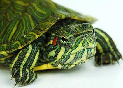 Cara merawat kura-kura brazil