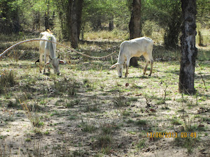 Cattle grazing in the Core Zone area of Khitauli  zone.