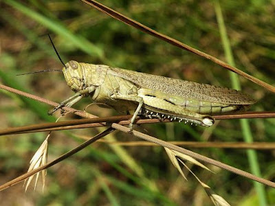 foto belalang gurun atau desert locusts