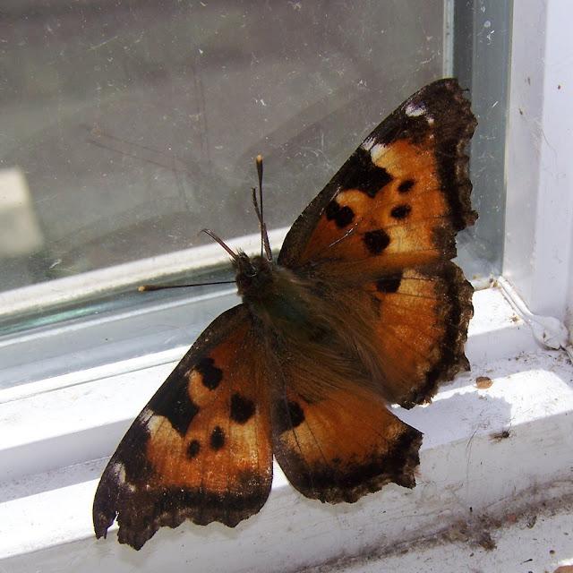 Sommerfugl i vindueskarm