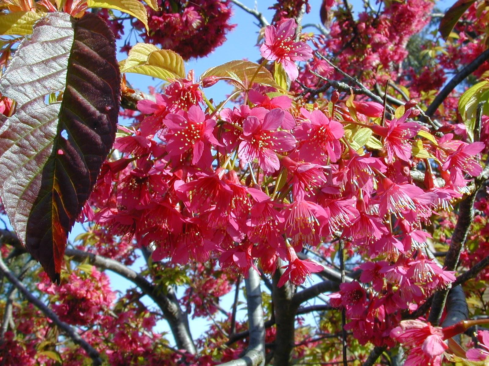 Trees Of Santa Cruz County Prunus Campanulata Taiwan Cherry Tree