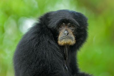 fotografías de changos bien monos - Lindos simios